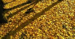 """Das Laub. Es gibt keine Mehrzahl von Laub. Im Herbst liegt oft Laub auf dem Boden. • <a style=""""font-size:0.8em;"""" href=""""http://www.flickr.com/photos/42554185@N00/30276588362/"""" target=""""_blank"""">View on Flickr</a>"""