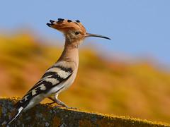 Poupa // Eurasian Hoopoe (http://jvverde.birdsby.me/v2/) Tags: poupa upupaepops bird ave aves birds avesemportugal birdsinportugal nature natureza idanha portugal avifauna eurasianhoopoe hoopoe geo:lat=39792482300513015 geo:lon=7021956145763397 wildbird wildlife wild selvagem birding birdwatch aoarlivre pssaros pssaro bir natural oiseau vogel     pjaro   uccello   uccelloaves emliberdade onwild nanatureza lintu  madr