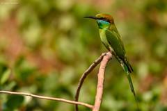 Green Bee Eater (Sanjay Dandekar) Tags: greenbeeeater birdportrait bird indianbirds indianwildlife sigma150600mmsports sigma nikon d7100 dapoli redeyedbird longtailedbird
