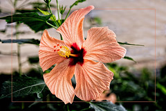Salmon Color Hibiscus Flower (scorpion (13)) Tags: hibiscus blossom frame color creative nature garden butterflies castle sayn greenhouse photoart