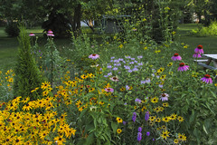 My Native Garden (JBtheExplorer) Tags: native garden habitat restoration prairie plants gardening butterfly pollinator monarch waystation purpleconeflower echinaceapurpurea blackeyedsusan rudbeckiahirta wildbergamot monardafistulosa liatris blazingstar gaillardia blanketflower greyheadedconeflower ratibidapinnata wisconsin mountpleasant flowers asclepias tuberosa milkweed orange