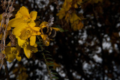 Bumble Bee (Bombus sp.) and Kowhai (Sophora microphylla) (Nga Manu Images NZ) Tags: bombussp bumblebee fscientificnames feeding flowering insects kowhai plantsandfungi pollination sophoramicrophylla trees