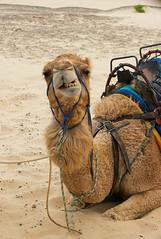 Camel-smile_DSC2921 (Mel Gray) Tags: birubibeach nelsonsbay portstephens camels beach newsouthwales outdoors