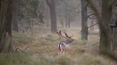 Damhert Burlt zich een breuk ... (Alex Verweij) Tags: damhert burlen awd bronst natuur nature wild hert deer gewei bronstkuil alexverweij canon 5d 200mm f28 pannenland