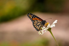 Sharing and Caring (brev99) Tags: tamron180f35 d7100 butterfly insect gilcreasemuseum highqualityanimals flowers nikviveza nikoutputsharpener insects bokeh backgroundblur