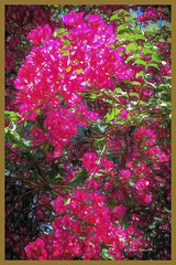 Bougainvillea Time (TOXTETH L8) Tags: bougainvillea topazlabsimpression colouredpencileffect gardenspring plant razorwire dry sydney newsouthwales