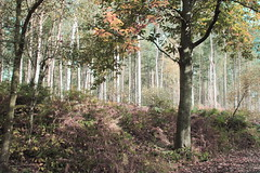 Delamere Forest (Cal Killikelly) Tags: delamereforest autumn fall painterly