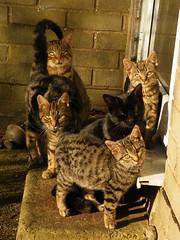 Feed us faces (rospix+) Tags: rospix 2016 november wales uk animal animals cat cats tabby tabbycat blackcat family