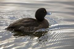 Tufted Duck (6) (grahamh1651) Tags: helstonboatinglake birds gulls ducks geese waterbirds swans
