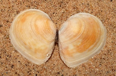 Baltic tellin clam (Limecola balthica) (shadowshador) Tags: baltic tellin clam macoma balthica neomura eukaryota opisthokonta holozoa filozoa animalia eumetazoa bilateria protostomia lophotrochozoa mollusca conchifera bivalvia heterodonta tellinoidea tellinidae conchology malacology invertebrate invertebrates taxonomy scientific classification biology sea shell shells sand sandy beach wildlife life british north wales colwyn bay colwynbay limecola macominae imparidentia cardiida