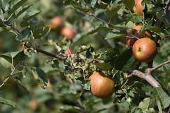 ckuchem-2196 (christine_kuchem) Tags: apfelplantage biolandwirtschaft erntezeit landbau landwirtschaft naturhof obstplantage biologisch obstbã¤ume reif ãpfel