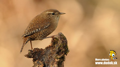 Troglodytes troglodytes (Jn Svetlk) Tags: bird troglodytes wren