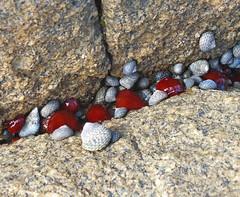 Shells and anemones (LeelooDallas) Tags: australia tasmania bay fires binalong waratah anemone rock shell clam dana iwachow fuji finepix hs20 exr