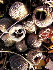 Here's Looking At You (marcus gordianus) Tags: walnuts shells harvest closeup nature blackwalnuts walnuss schwartzewalnus nuts nut nsse