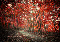 Final Days of Autumn (Anthonypresley1) Tags: forest autumn nature anthonypresley anthony presley old retro vintage red fall leave leaves leaf illinois