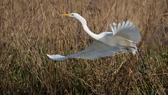 Silberreiher 012 (bertheeb) Tags: silberreiher reiher wasservogel