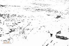 Chamois (Nicola Destefano) Tags: camoscioalpino camoscio alpinechamois chamois rupicaprarupicapra valledaosta aostavalley granparadisonp valsavarenche wildlife animal snow mammal oneanimal nobody italy alps italianalps autumn 2016 environment white blackandwhite