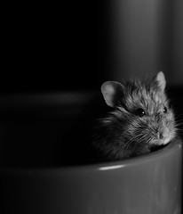 After the fallout with the peanut butter pot.  Taken a week ago. #dwarf hamster #hamster #blackandwhite #Bnw #photography #pet (paris.havanna) Tags: dwarf hamste hamster blackandwhite bnw photography pet