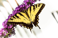 Symmetry in Nature (rlgidbiz1) Tags: swallowtail yellow black butterflybush eastern tiger
