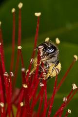 Honey Bee (Apis mellifera) and Pohutukawa (Metrosideros excelsa) (Nga Manu Images NZ) Tags: apismellifera fscientificnames feeding flowering honeybee insects metrosiderosexcelsa plantsandfungi pohutukawa pollination trees