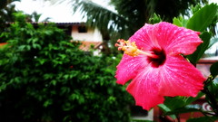 Hibisco (:: through my eyes ::) Tags: pssaro pssaros bird pescador tarrafa gato cat litoralpr sony rx100ii rx1002 cybershot