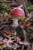 November Fly Agaric 2016 IV (boettcher.photography) Tags: mushroom pilz natur nature november herbst autumn fall makro macro flyagaric fliegenpilz germany deutschland sashahasha boettcherphotography