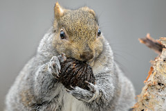 Short Ear Squirrel with Nut-45448.jpg (Mully410 * Images) Tags: shortear eating graysquirrel easterngraysquirrel walnut squirrel backyard