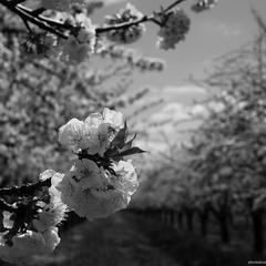 Eclosion (A. Fontalive.) Tags: aixenprovence panasonic sud fleur cerisier afontalive bouchesdurhone gf1 cucuron provencealpesctedazur france fr