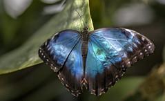 Wisley Exotic Butterflies Feb 2014 (gardengeorgie) Tags: second wisley surrey rhs butterflies exotic february 2014