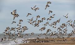 The flight of the oyster catcher (Outdoorjive) Tags: other hunstanton general beach birds flikr desktop places uk norfolk eastanglia