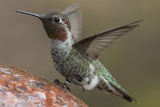CAUTION!!! Slippery Slope!! ( Anna's Hummingbird )