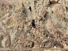 Golden Eagle (Aquila chrysaetos) (gilgit2) Tags: avifauna birds canon canoneos650d category fauna geotagged gilgit gilgitbaltistan goldeneagleaquilachrysaetos imranshah jutial location pakistan sigma sigma150500mmf563apodgoshsm species tags wildlife wings gilgit2 aquilachrysaetos 03birds