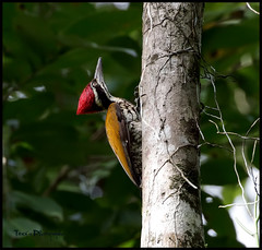 Greater flameback (tareq uddin ahmed) Tags: bird birds wildlife greater ahmed bangladesh chittagong uddin tareq flameback kaptai woodpecke chrysocolaptes chrysocolapteslucidus guttacristatus