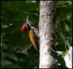 Greater flameback (tareq uddin ahmed) Tags: bird birds wildlife greater ahmed bangladesh chittagong uddin tareq flameback kaptai woodpecke chrysocolaptes chrysocolapteslucidus guttacristatus