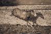Winter games IV (Alexandracmoi) Tags: horse earth equestrian epona equine equus equinephotography equestrianphotography horsephotography horsepicture horseimage horsephotoshhot
