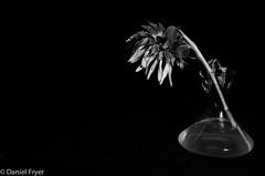 Lonely (danfryer2) Tags: blackandwhite rotting dead nikon sad sunflower deadflowers driedflowers