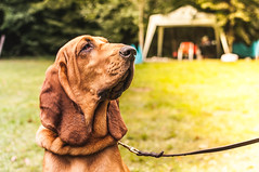 Bloody (jahbalaha) Tags: portrait dog brown green grass nikon expo expression tent leash bloodhound lightroom d90