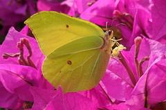 Gonepteryx rhamni (Steenjep) Tags: autumn flower macro fall closeup butterfly nikon bougainvillea sommerfugl bourgonvilla gonepteryxrhamni efterår commonbrimstone citronsommerfugl s6400