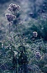 Wie ich von unsichtbaren Fden raus in den Nebel gezogen wurde und weniger subtile bei den Blumen fand. (Manuela Salzinger) Tags: morning autumn flower fog forest nebel herbst meadow wiese cobweb blume wald morgen spinnennetz
