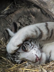 White Bengal Tiger Cub (Sandra Wildeman) Tags: portrait cute cat zoo cub tiger portrt 70300mm tierpark portret tigre bigcats whitetiger dierentuin dierenpark bengaltiger olmen felidae knigstiger wittetijger tigreblanco welp olmensezoo pantheratigristigris bengaalsetijger katachtigen tigredebengale royalbengaltiger tigreblanc d5300 indischertiger