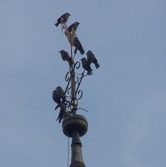 Dohlen auf der Turmspitze von St. Johannisberg , NGID1971875417 (naturgucker.de) Tags: johannisberg altersteinbruch naturguckerde ckarlheinzfuldner dohlecorvusmonedula ngid1971875417
