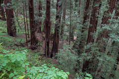 Forest - Muir Woods National Monument - Marin County - California - 16 May 2015 (goatlockerguns) Tags: sanfrancisco california county trees usa west monument forest coast woods marin unitedstatesofamerica coastal national bayarea redwood redwoods sausalito muir millvalley northbay