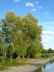 Silberweide (Jrg Paul Kaspari) Tags: autumn tree fall herbst september bodensee baum abre 2015 radolfzell naturfreundehaus markelfingen silberweide salixalba