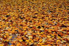 Autumn, Stanley Park, Vancouver (pbakker22) Tags: autumn vancouver stanleypark