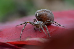 Autumn colours - Araneus diadematus (willjatkins) Tags: autumn macro spider spiders arachnid autumncolours arachnids britishwildlife araneusdiadematus orbweaver araneus hemelhempstead gardenspider gardenwildlife orbweaverspider sigma105mm orbwebspider ukwildlife britishspider britishspiders autumnwildlife macrowildlife ukspider hertfordshirewildlife ukspiders nikond7100 hertfordshirespiders hemelhempsteadwildlife