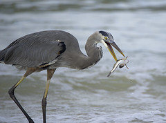 Heron With Fish 1 (dcnelson1898) Tags: ocean travel vacation heron gulfofmexico birds fishing waves florida eating hunting fisch blueheron shorebirds