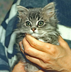 00384 (d_fust) Tags: cat kitten gato katze 猫 macska gatto fust kedi 貓 anak katt gatito kissa kätzchen gattino kucing 小貓 고양이 katje кот γάτα γατάκι แมว yavrusu 仔猫 का बिल्ली बच्चा
