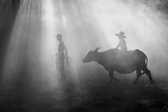 farmer (SaravutWhanset) Tags: life china light mist holiday animal walking asian thailand buffalo asia action outdoor farm smoke culture son learning waterbuffalo custume farther chield jouner littledoglaughednoiret