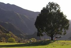 Parked Up (Tones Corner) Tags: horse tree green landscape nzscene
