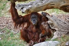 Ibu & Bebe Khaleesi (Araceli San Martin) Tags: bebe orangután